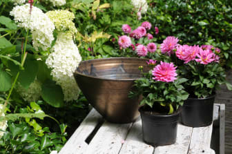 Samplantering av rosa dahlia - steg 1