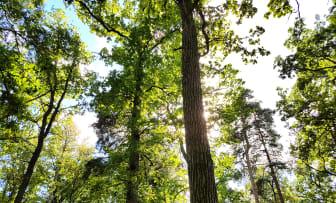 Ekar och tallar i strandnära skog i framtida naturreservatet Hovshaga. Martin Unell, Växjö kommun