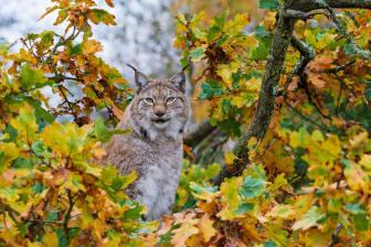 Lodjur under hösten i Skånes Djurpark