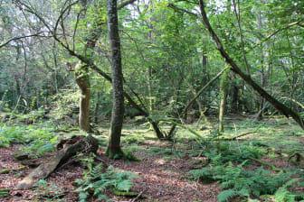 Uberørt skov - Rold Skov