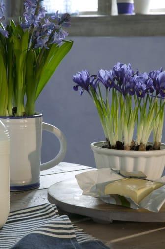 Blommande vårlökar i vita kärl