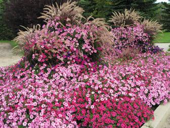 Petunia supertunia Vista