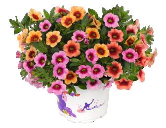 Småpetunia för bordsdekoration - Calibrachoa Conga MixMasters Orange Peach Pink