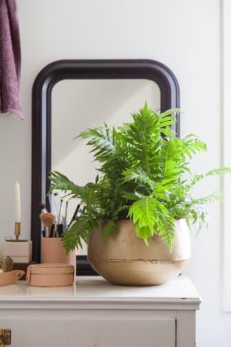 Ormbunkar - palmbräken