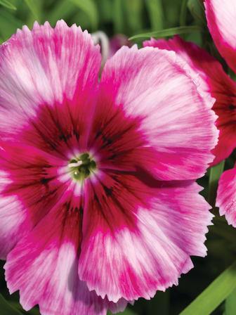 Dianthus 'Venti Parfait Crimson Eye' närbild