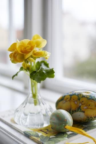 Begonia - en favorit till påsk_högupplöst