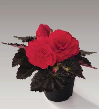 Begonia-tuberhybrida-GO!Early-F1-Cherry-Bronze-Leaf_