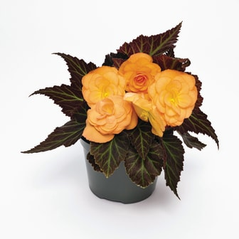 Begonia-tuberhybrida-GO!Early-F1-Bright-Orange-Bronze-Leaf