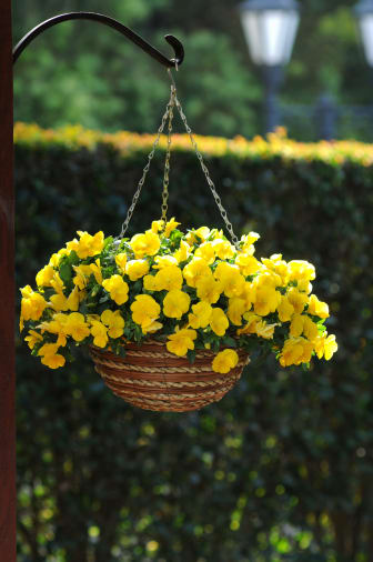 Viola x wittrockiana 'Cool Wave Yellow'