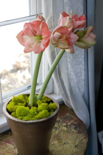 Amaryllis i fönstret