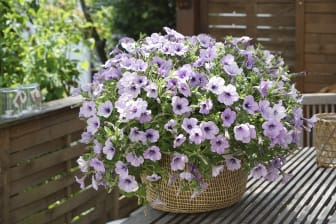 Petunia LavenderSky