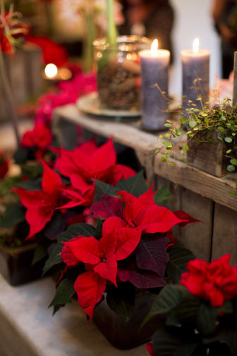 Julstjärnor i rött.