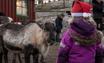 Möt tomtens renar under Djurens Jul i Skånes Djurpark
