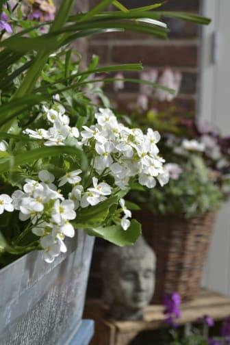 Vitblommande fagertrav i balkonglådan