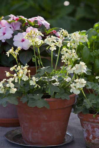 Årets Pelargon 2012 Pelargonium 'First Yellow' 3