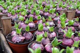 Hyacinter i odling.