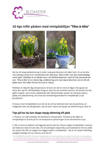 10 tips inför påsken med minipåskliljan 'Tête-à-tête'