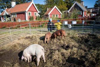 Grisarna från Hamra gård hjälpte till att böka upp nya odlingsytor i Allmogebyn