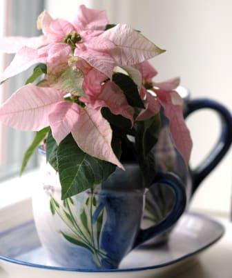 Höststjärna Princettia, Euphorbia pulcherrima Princettia-Serien