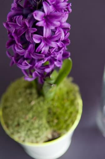 Lila hyacint