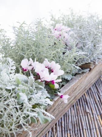 Victorias sensommar- och höstplantering i rosa och silvriga toner
