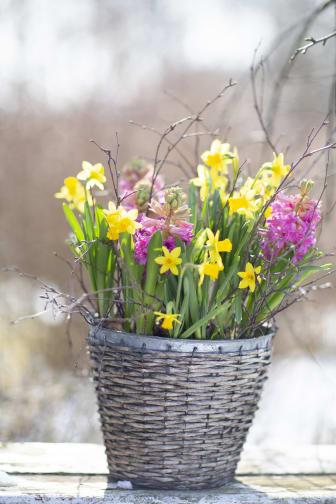 Minipåskliljor med hyacinter