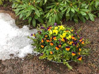 Penséer fungerar utmärkt även om det fortfarande finns snö