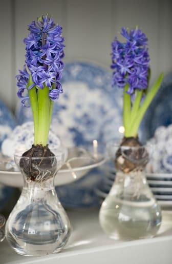 Blå hyacinter i glasvas