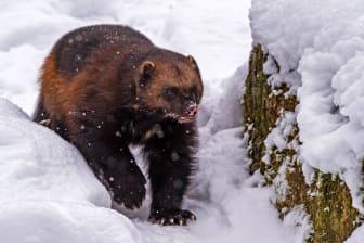Under sportlovet kan gästerna spana nordiska djur