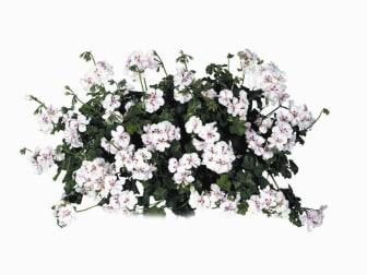 Hängpelargon Pelargonium peltatum 'Luna'