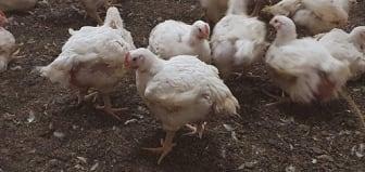 Äldre vita kycklingar