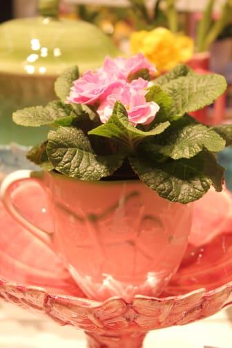 Primula i kopp på tårtfatet