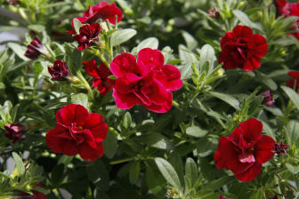 Fylldblommande småpetunia, Calibrachoa Uno_DoubleRed