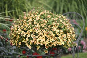 Småpetunia, Calibrachoa MiniFamous® Neo Double Orange