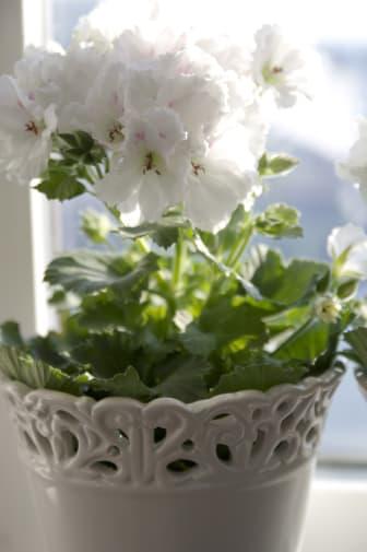 Engelsk pelargon - vitt i solen