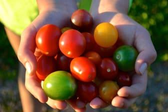 Mångfald av tomatsorter