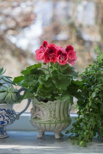 Vår på fönsterbrädan med engelsk pelargon