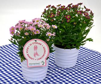 Dagens Rosa Produkt 22 oktober - en småblommig Krysantemum från Mäster Grön