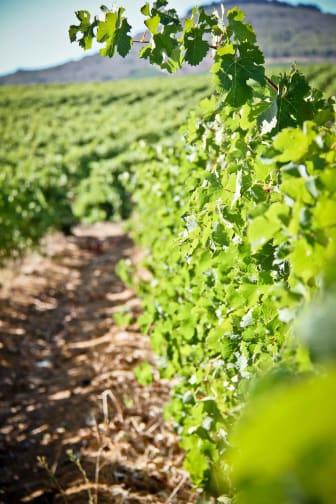 KWV vineyard
