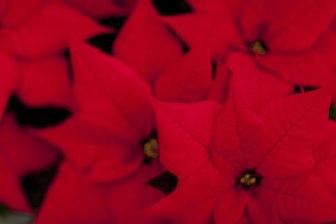 Julstjärnor i odling