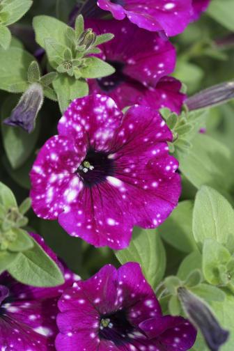 Petunia RoyalSky