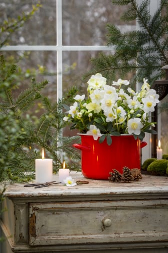 Svenskodlade julrosor med Karl Fredrik på Eklaholm