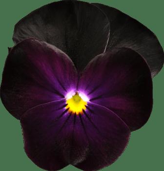 Viola (Tricolor-Gruppen) SORBET-SERIEN 'Blackberry'