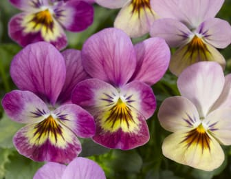 Viola cornuta 'Endurio Pink Shades'