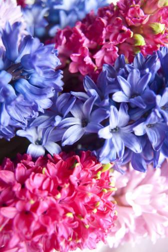 Färgrika hyacinter i närbild
