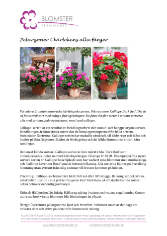 Pelargoner i kärlekens alla färger