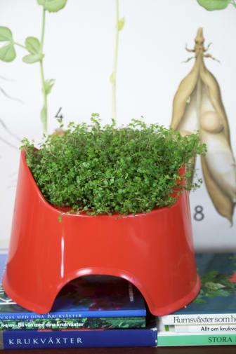 Hemtrevnad Soleirolia soleirolii pott-krukan