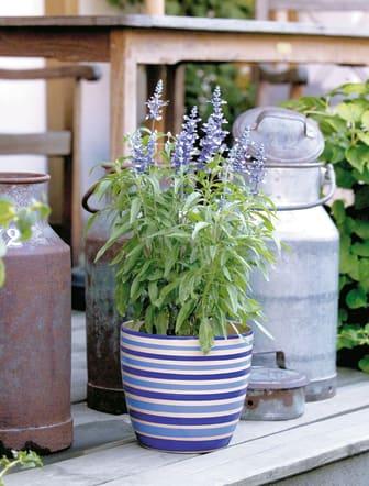 Daggsalvia  Salvia farinacea 'Fairy Queen' i kruka