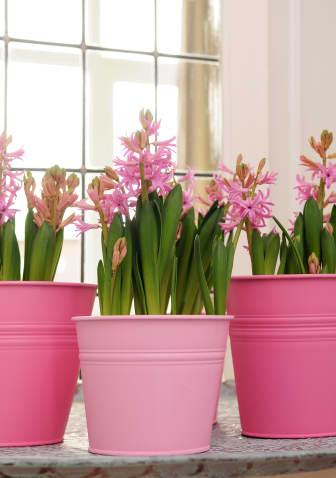 Rosa hyacinter