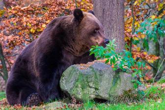 Möt björnarna Glok och Ester innan de går i ide